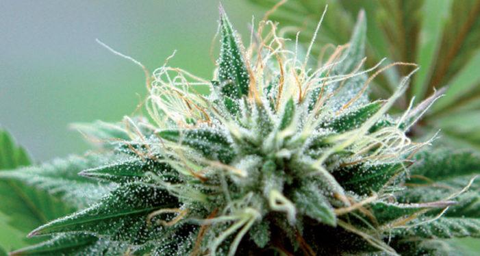 Weed Crop Tips