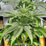 Understanding Marijuana Grow Mediums